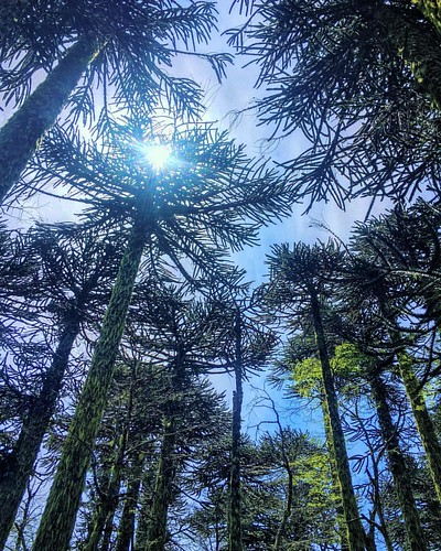 Hermosos bosques de araucarias