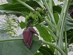 Musa paradisiaca 6 (heinvanwinkel) Tags: 2014 banaan bloemvandedag commelinids euphyllophyta hortus januari leiden liliopsida magnoliophyta mesangiospermae musaxparadisiaca musaceae nederland petrosaviidae spermatophyta tracheophyta zingiberales