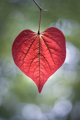 Natural love (GinelliGino) Tags: macro red firstpansy leaf heartshaped nature love heart