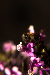 Bee (audreyboat) Tags: animais animals flores flowers insetos insets macro macrofotografia macrophotograph