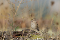 A British Columbia Speciality (Chantal Jacques Photography) Tags: goldencrownedsparrow britishcolumbiaspeciality melancholic sound melancholicbirdsound wildandfree bokeh depthoffield esquimaltlagoon birdscape