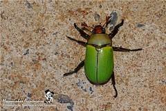 Besouro - Pelidnota citripennis (Scarabaeidae: Rutelinae: Rutelini) - (Germar, 1824) (Marquinhos Aventureiro) Tags: wildlife vida selvagem natureza floresta brasil brazil hx400 marquinhos aventureiro marquinhosaventureiro serra canastra serracanastra besouro beetle pelidnota scarabaeidae rutelinae rutelini citripennis