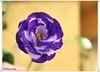 Clavelito matizado (ℝakel_ℰlke ﴾͡๏̯͡๏﴿) Tags: rakel raquel elke rakelelke raquelelke rakelmurcia regióndemurcia murcianorte espinardo murcia españa spain espagne europa europe nikon nikond300s d300s nikkor18–200 objetivo18200mm flower fleur fiore blumen кветка květina cvjetni kvetina floro lill lore kukka blodau λουλούδι פרח फूल paj bloem virág bunga blóm フラワー zieds žiedas цвет kwiat floare цветок blomma çiçek квітка hoa violeta morado lila clavel clavelina