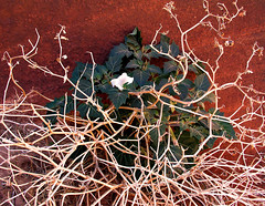 Moon Lily (windyhill623) Tags: plant ornamentalplant sacreddatura jimsonweed perennial flower wildflower white whiteflower redrock utah wirepasstrail desert desertplant moonlily angelstrumpet poisonousplant sacredplant flora daturawrightii vermilioncliffswilderness