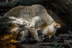 Feeding... (Francizc Chachula) Tags: nikon d7200 70300mm feline tirgumures zoo september 2016 wild nature natural daylight portret composition bokeh cat