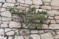 Vg (Benny Hnersen) Tags: holiday flower wall greece blume griechenland blomst ferie sivota syvota 2015 augsut grkenland vg