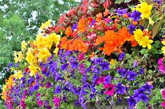 flowerwall (Worjohn) Tags: flowers color colour wall bright colorfull cotswolds cheltenham risingsun colourfull worjohn