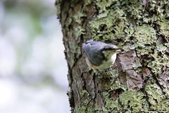 IMG_8792  Sitta europaea (SORO 556 by ENJOY DESIGN) Tags: canon sittaeuropaea  wildbirds  eos6d