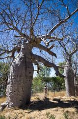Australian baobab