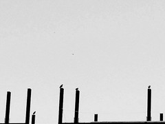 (Suani. T) Tags: bird pb iphone geometria passaros reuniao photohraphy