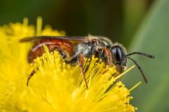 Another native bee (affectatio) Tags: red macro green insect bee jewels jewel mpe65 nativebee littlejewel australiannativebee homalictus