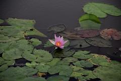IMG_4200 (singaporeplantslover) Tags: nymphaea   lotus