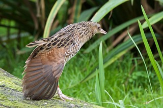 Corncrake (Explored 13-09-15)