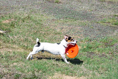 The knight himself with his orange shield (roughi) Tags: dog jack russell terrier