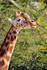 Jolie Parisienne au long cou (dbrothier) Tags: zoo giraffe girafe canonef100300mmf4556usm