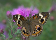 Autumn Dreams (KsCattails) Tags: autumn orange brown flower macro fall nature butterfly insect evening nikon soft purple blossom bokeh outdoor tan meadow aster jccc commonbuckeye junoniacoenia eyespot d3100 kscattails