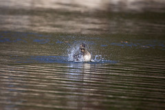 greb bath4 (G_Anderson) Tags: bath bathing waterfowl pied grebe billed