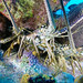 "Lobster1 • <a style=""font-size:0.8em;"" href=""http://www.flickr.com/photos/44146977@N05/22002029043/"" target=""_blank"">View on Flickr</a>"
