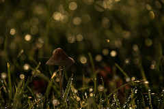 Bokeh Of Toadstool (pogmomadra) Tags: autumn sun sunlight mushroom wednesday dewdrops woods nikon bokeh fungi raindrops toadstool waterdrops hbw happybokehwednesday d5300 bevclark pogmomadra
