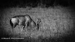 DSC02442.jpg (ChrMous) Tags: diereninhetwild 2016 easterncape tamronsp150600mmf563 hartenbeest zoogdieren zuidafrika sonyslta99 animals zwartwit addoelephantnationalpark southafrica alcelaphusbuselaphus redhartebeest