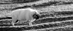 Headbutting Ram (mootzie) Tags: horns curly croft wooly ram headbutting luskentyre