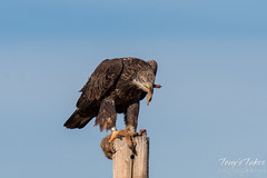 Bald Eagle devours Prairie Dog leg - 5 of 10