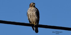 Hawk_3438 (Porch Dog) Tags: nature december hawk kentucky wildlife feathers fx 2015 garywhittington nikond750 nikon200500mm