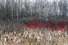 Veteran's Highway 2 (Doris Burfind) Tags: trees winter red nature rural berries country foliage haltonhills