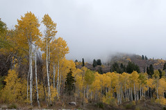 (S.askins15) Tags: trees color fall weather fog utah woods fallcolors air birch wilderness ogden birches