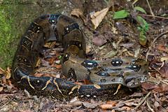 Boa constrictor (Kevin Stohlgren) Tags: macro costarica sony sigma boa osa a77 constrictor osapeninsula imperator 70mm