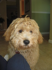daisy-before-her-hair-cut--so-adorable-daisy-is-one-of-ginger-and-chewys-girls-_3939782976_o