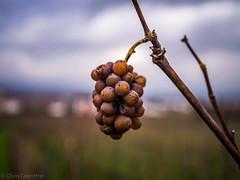 hngen gelassen (ChrisTalentfrei) Tags: blurry dof wine bokeh grapes dezember weinberg trauben schneider kreuznach weintrauben herbstlich ingelheimamrhein schneiderkreuznachpc2828mm