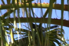 Video: Funny Black Bird in Palm Tree. 48 seconds. (Jeff in Henderson) Tags: tree bird funny nevada palm henderson talking blackbird yacking