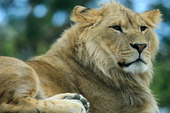 Parc zoologique de Paris 02.10.2016 0J5A9765 (MUMU.09) Tags: canoneos7dmarkii 100400mm france parczoologiquedeparis02102016 vincennes animal flin lion felidae pantherinae panthera pantheraleopolpi mumu09