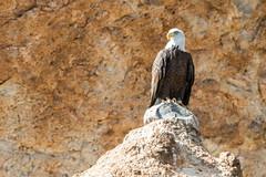 Bald Eagle in the Desert (brianbaril_photography) Tags: bald eagle desert rock lake bird prey nature arizona az animal american brianbaril canyon d800 nikon nikkor national photography photo travel
