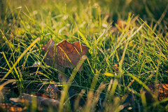 Fall (gwilwering) Tags: backlight closeup dof foliage grass green leaf leaves nature outdoor sun           sonya350 tyumen siberia