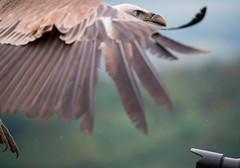 Adlerwarte Kreuzenstein (alexanderferdinand) Tags: leobendorf tiere vulture geier show seminar birdsofprey greifvgel ef100400mmf4556lisiiusm canoneos1dxmarkii
