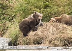 The Meal? (Rick Derevan) Tags: alaska kodiak kodiakbearkodiak brown bearbrown bear