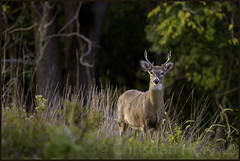 young buck (Christian Hunold) Tags: whitetaileddeer whitetailedbuck whitetail deer buck youngbuck mammal valleyforge pennsylvania weisswedelhirsch christianhunold