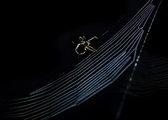 Catching things and Eating their Insides... (samueljohnkerr) Tags: spider spiders web spidersweb spiderweb cobweb arachnid