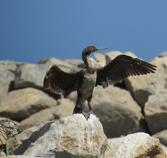 Socotra Cormorant (tom_2014) Tags: cormorant socotracormorant phalacrocoraxnigrogularis bird birds wild wildlife animal nature biodiversity endemic avifauna phalacrocorax nigrogularis oman ecology sultanate sultanateofoman basking bask sun harbour musandam middleeast arabia arabianpeninsula