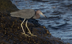 On the Rocks (SDRPhoto321) Tags: atlant atlanticocean botanical bird birds birding bill blue black bright beach canon color colorful clouds cloud dof dark depthoffield depth eos expression eye elevated eyes exposure florida feathers great green haven heron inspiring inspire egret light lands line mighty new nature national outdoor outside perspective purple reflection sunny sun sunrise tree treasure urban vista wet