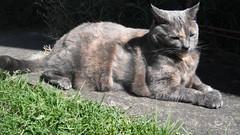 Josie (~ MCJ) Tags: josie cat greybluecreamtortoiseshell 10yo cardiomyopathy