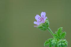Hairy (satochappy) Tags: flower pelargoniumaustrale purple green nsw sydney australia canon sigma   garden