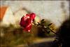 last rose (lubokl47) Tags: rose flower outdoor autumn canoneos50d manuallens takumar pentax czech village texture