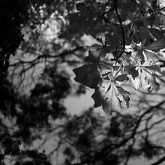 Early Autumn 3 (Andrew Malbon) Tags: autumn autumncolour fall seasons leaves deadleaves wideangle wideopen victoriapark victorian listed 35mmf14 summilux square leica leicam9 m9 rangefinder closefocus portsmouth bokeh depthoffield shortdepthoffield blackwhite monochrome mono bw