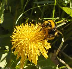 Abejorro europeo / European bumblebee (daniel.cross) Tags: 2325