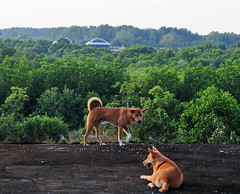 ,, 2 Flying Saucers ,, (Jon in Thailand) Tags: dog dogs k9 k9s mama rocky aliens flyingsaucers roof thedogpalace jungle earlymorning scary ears tail sox motherson nikon d300 nikkor 70300vr littledoglaughedstories