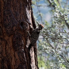 Ladder-backed_Woodpecker_DSC_3507 (mesquakie8) Tags: bird woodpecker feeding feeder male ladderbacked lbwo portal cochise county arizona 3507
