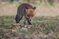 R16_7883 (ronald groenendijk) Tags: cronaldgroenendijk rgflickrrg animal fox groenendijk holland nature natuurfotografie netherlands outdoor ronaldgroenendijk vos vulpes wildlife